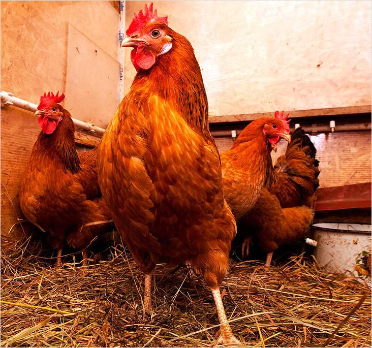 Теплый пол защитит лапы куриц от замерзания