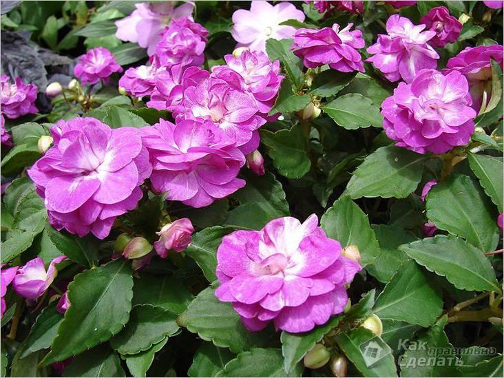 Однолетнее растение — бальзамин
