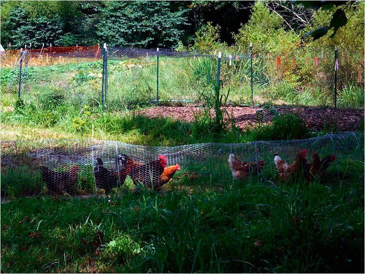 Туннель из металлической сетки. Отличное решение, чтобы куры не гуляли по всему двору и огороду