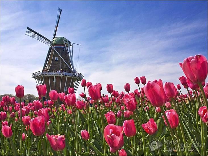 Мельница на фоне тюльпанов