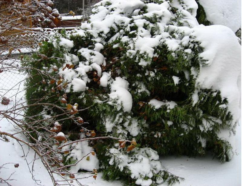 Туя подготовка к зиме в средней полосе