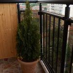 tuya-na-balkone_новый размер